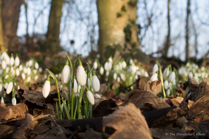 snowdrops-amongst-trees-2