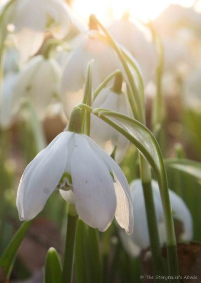 snowdrops-in-dawn-light-2