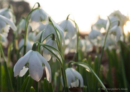 snowdrops-in-dawn-light-3