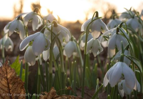 snowdrops-in-dawn-light