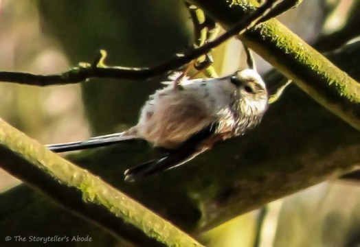 upside-down-long-tailed-tit