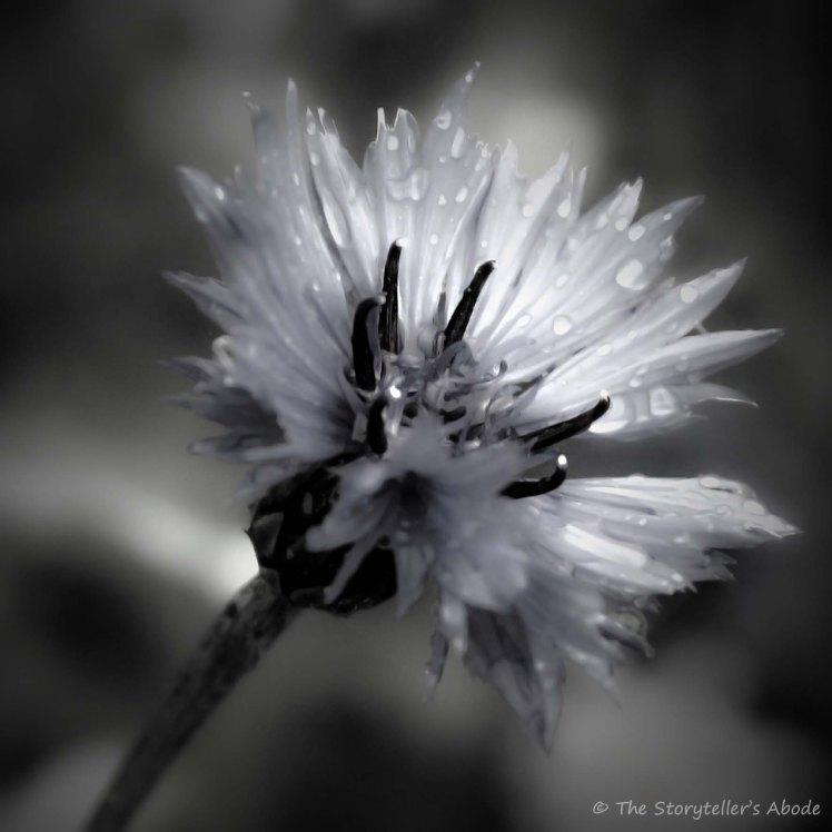cornflower after rain
