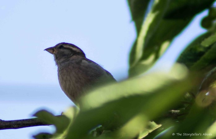 Sparrow in Feeding Tree 1.1