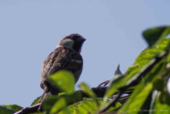 Sparrow in Feeding Tree 2