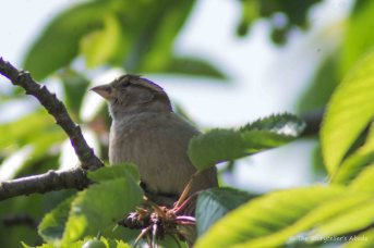 Sparrow in Feeding Tree 3