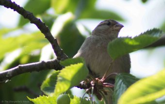 Sparrow in Feeding Tree 4