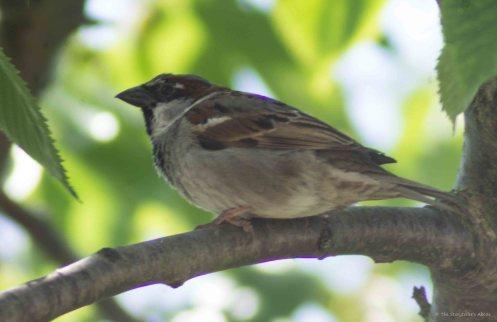 Sparrow in Feeding Tree 5