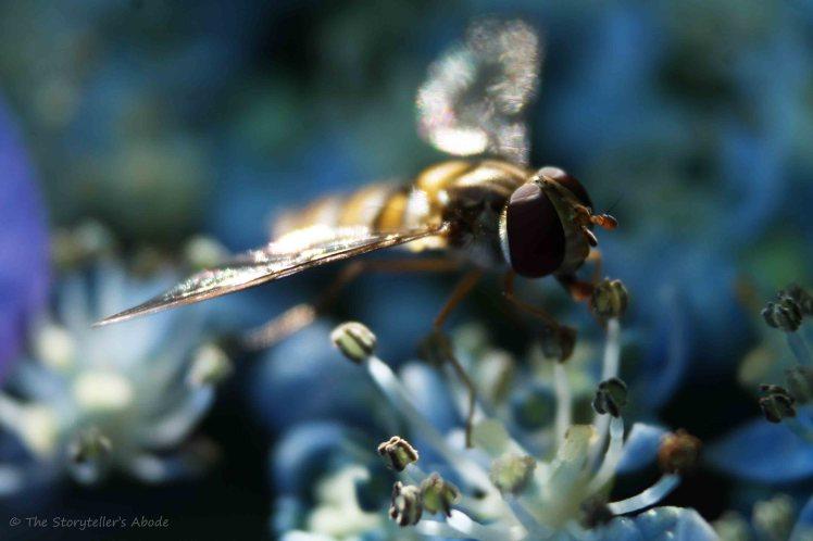 Hoverfly on Hydrangea 2