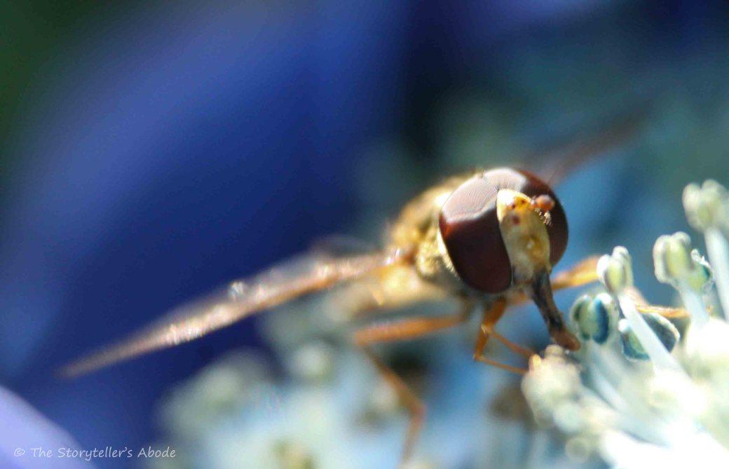Hoverfly on Hydrangea 4