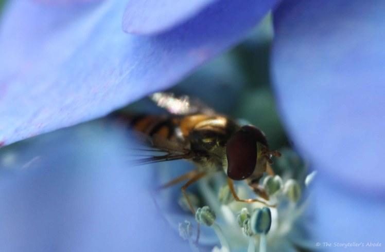 Hoverfly on Hydrangea