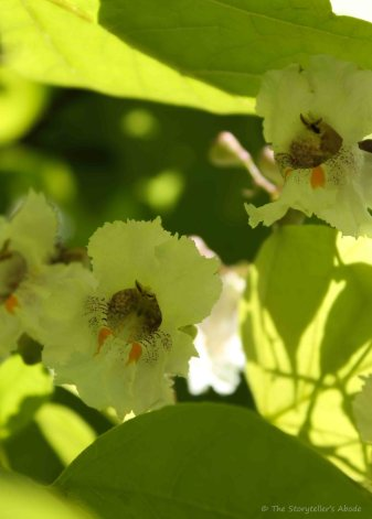 Indian Bean Tree Blossom 2