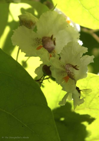 Indian Bean Tree Blossom 3