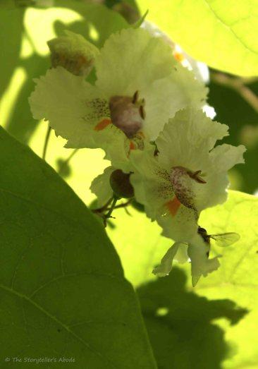 Indian Bean Tree Blossom 3