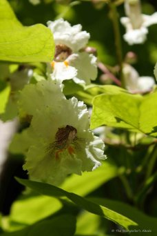 Indian Bean Tree Blossom