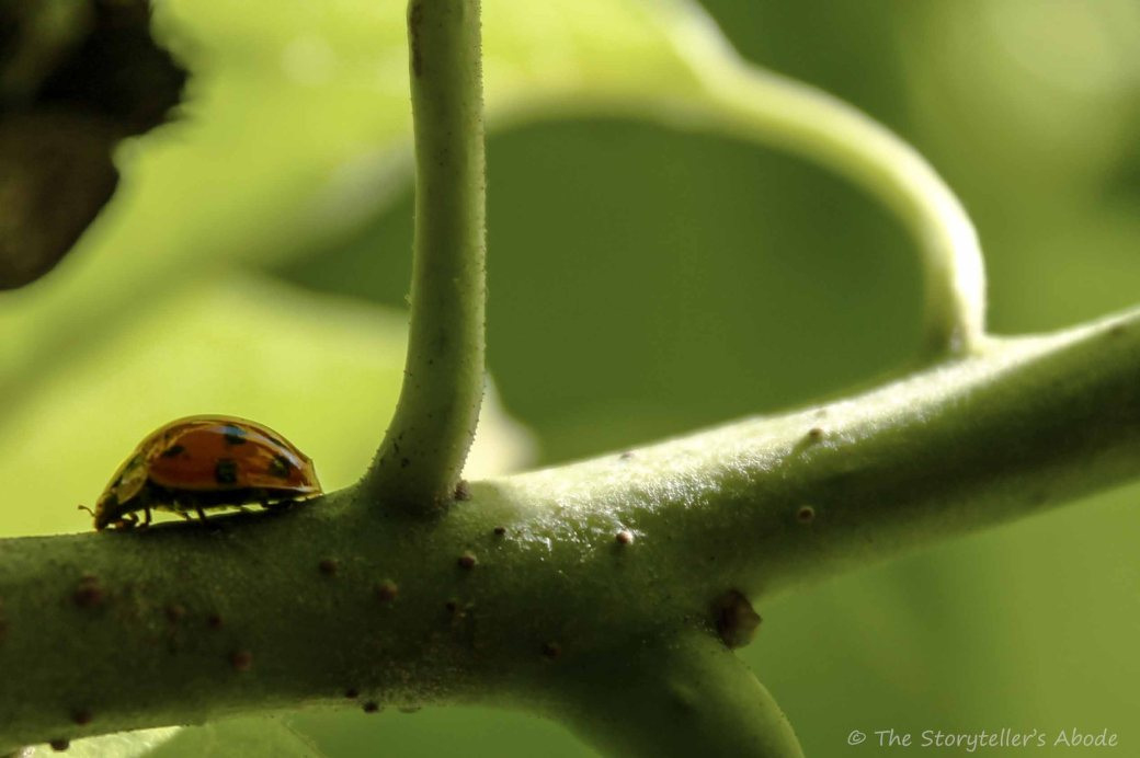 Ladybird on Bean Tree 2