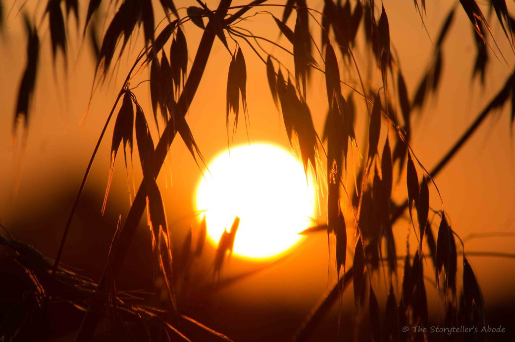 Dawn through wheat 2