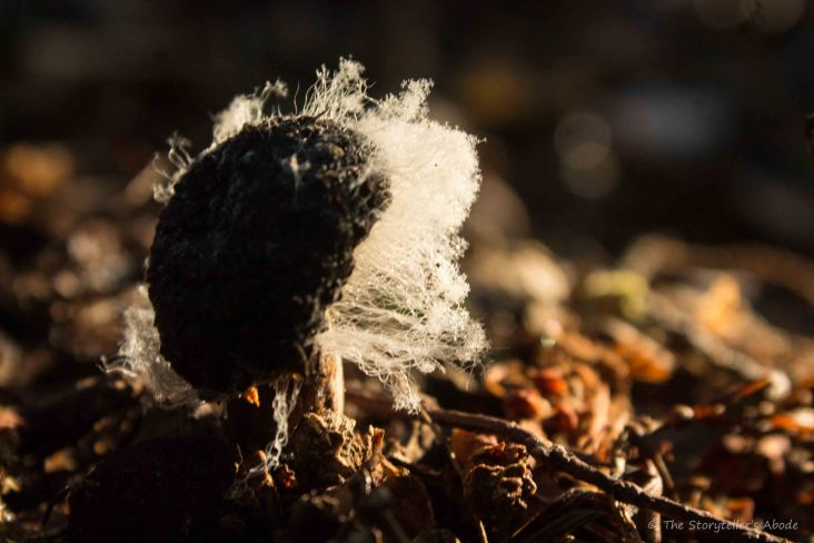 Hairy Toadstool