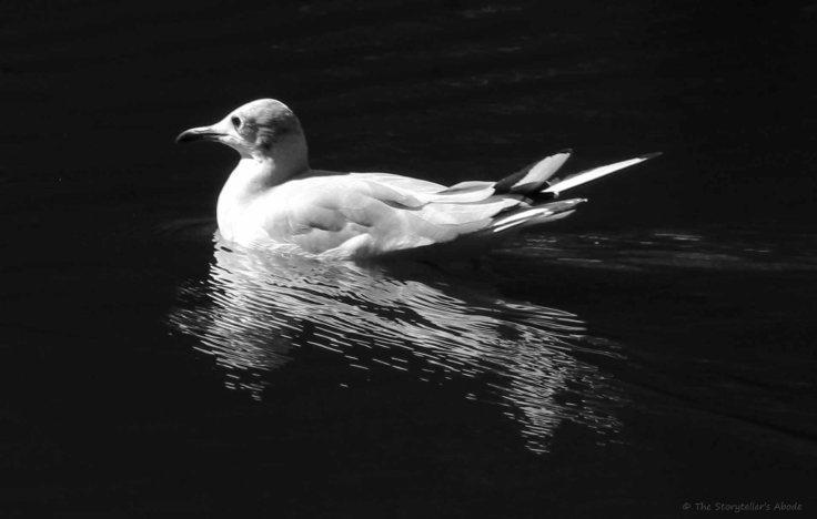 Gull 2 bw
