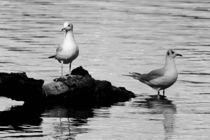 Gulls bw