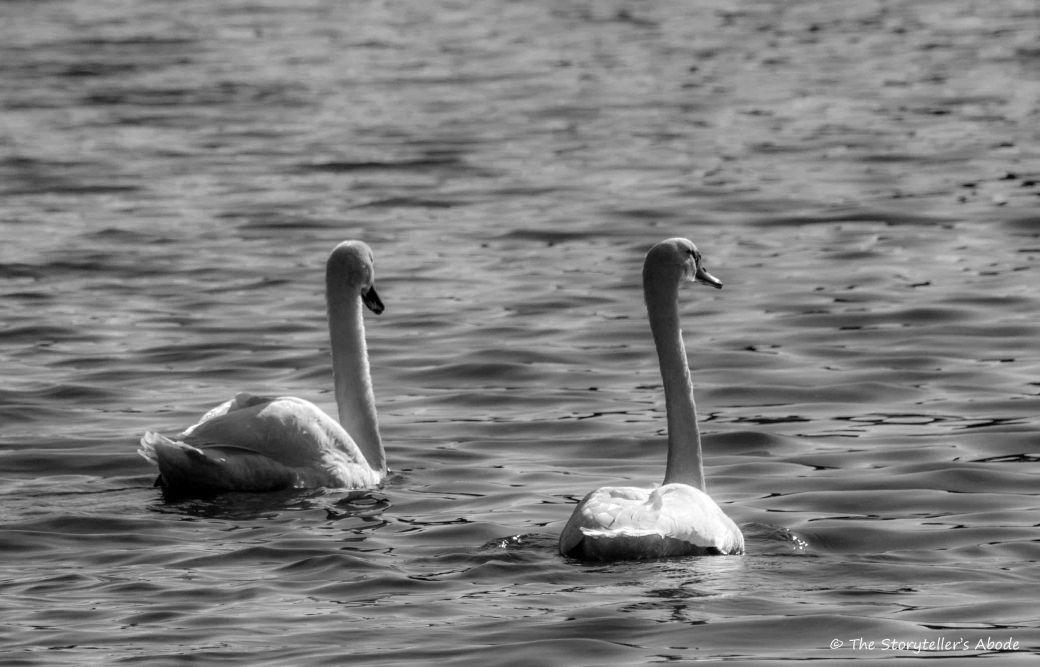 swans bw 3