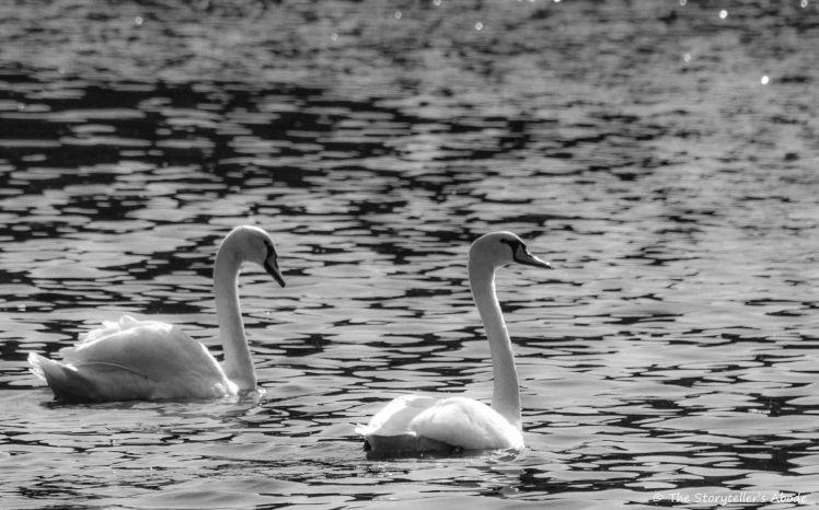 swans bw 5