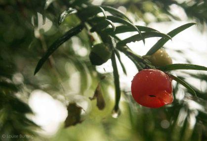 Yew Berries 2