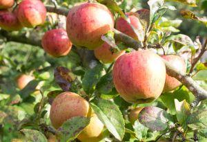 Apples 3