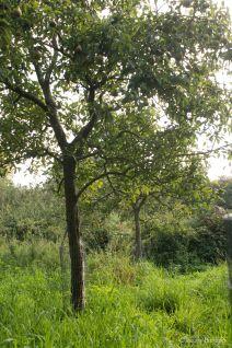 Orchard 4