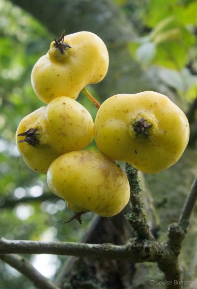 Ugly Apples