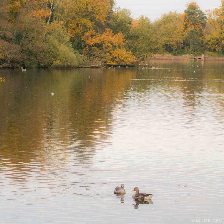 Autumn Ducks
