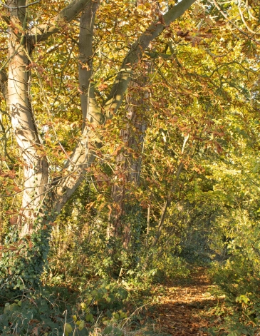 Autumnal Woodland Path