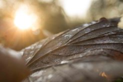 Dawn Lit Leaf