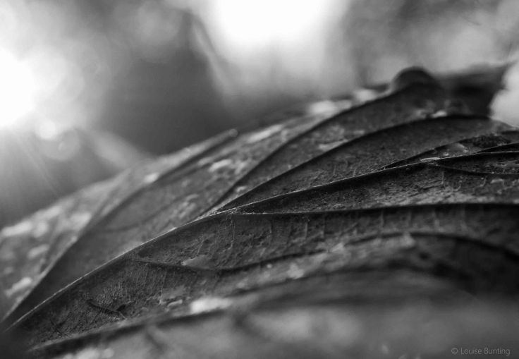 Sunlight on Fallen Leaf bw