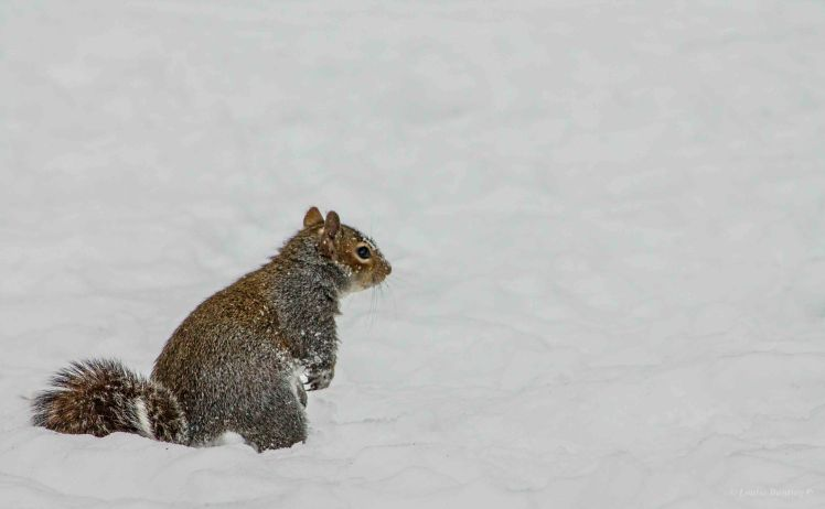 Squirrel alone in the snow