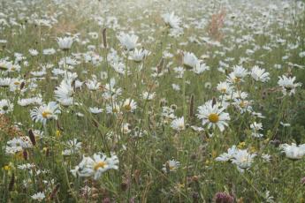 daisies3