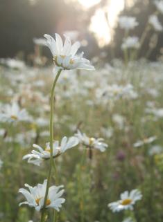 daisies5