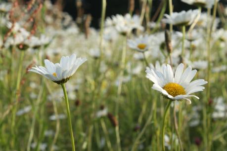 daisies7