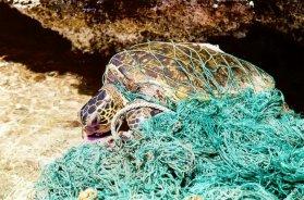 marine-debris-entangledturtle-e1527785878812-2144975484.jpg