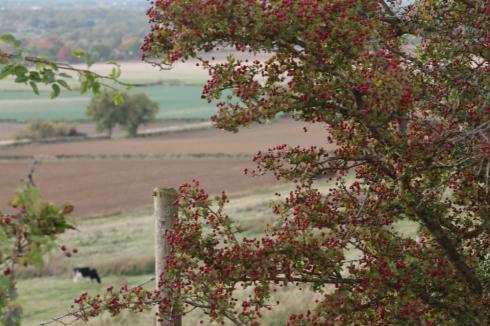 hawthorne hedge