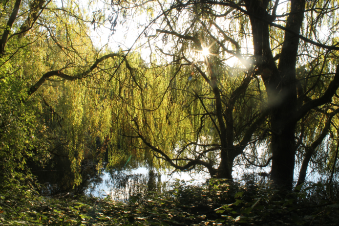 willow beside the pond