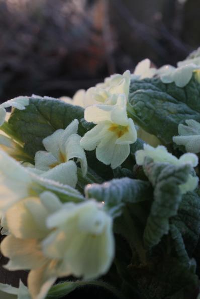 frosty primrose