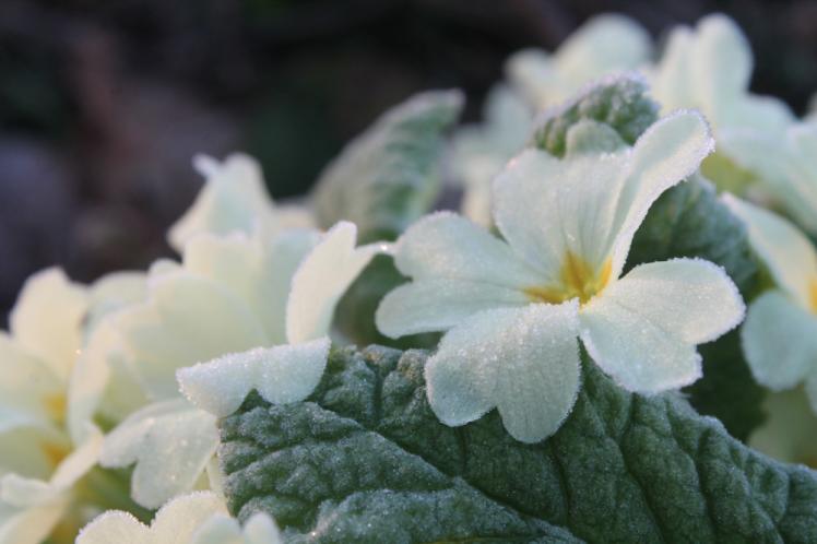 frosty primrose2