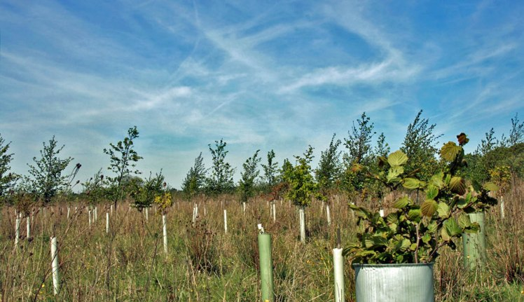 A bank of young trees beneath blue skies at Griffin Wood.