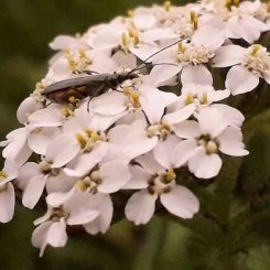 Soldier Beetle (possibly Catharis flavilabris)