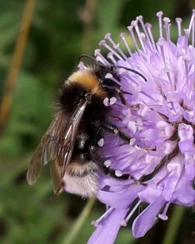 Possibly Gypsy Cuckoo Bumble Bee
