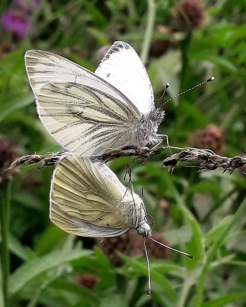 Mating pairs of Green-veined Butterflies