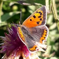 Meet the Small Copper Butterfly