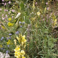 Meet a Plant: Toadflax