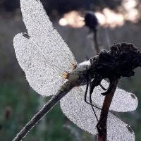 Dragonfly Dawn