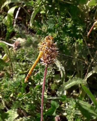 Female Vagrant Darter dragonfly